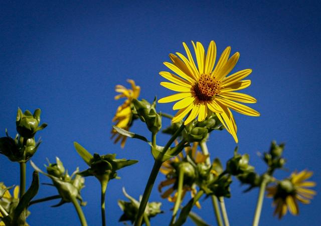 Phyllis Rawlinson Park - Sunflower
