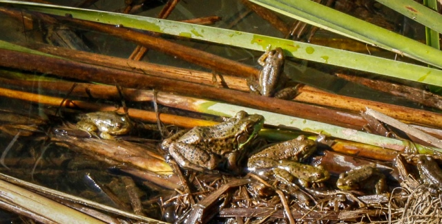 Phyllis Rawlinson Park frogs
