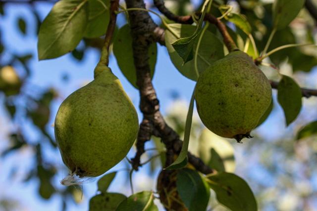 Phyllis Rawlinson Park Pear Tree