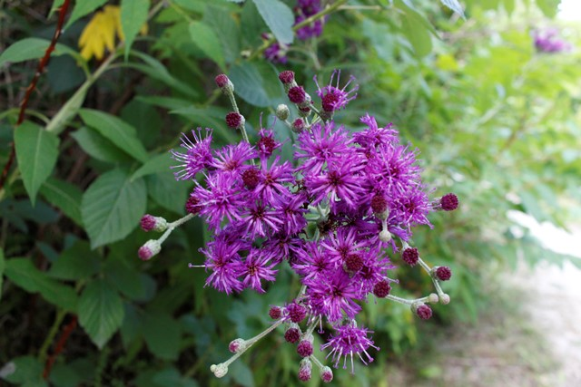 Hunter's Point Wildlife Park - Purple Asters