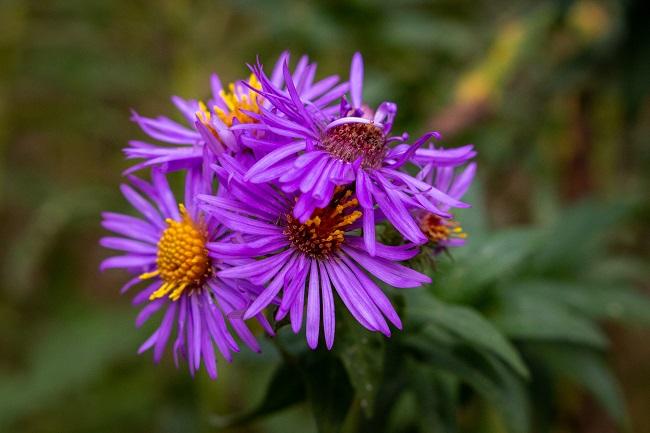 Beaver Woodland purple asters