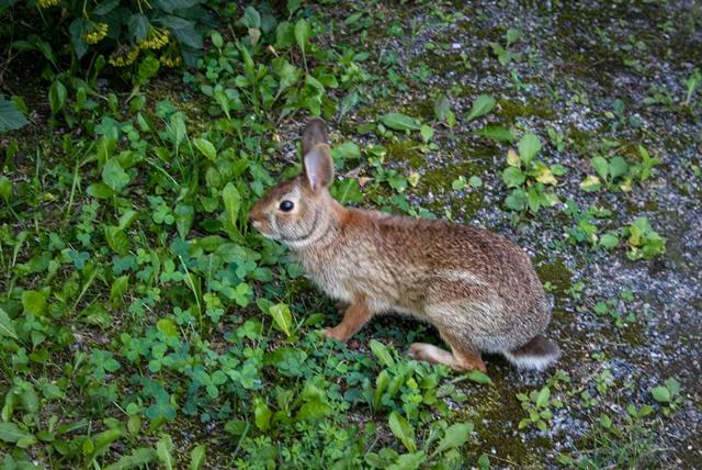 Phyllis Rawlinson Park Rabbit