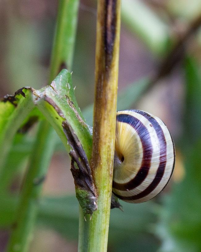 Beaver Woodland snail